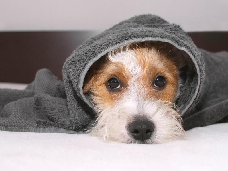 タオルでくるまれた犬