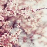 春の気分を柔軟剤の香りで楽しめる!2020年に買える桜の匂いのおすすめ商品